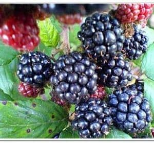 Blackberries - pint
